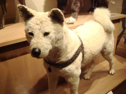 Hachikō nel Museo Nazionale di Natura e Scienza